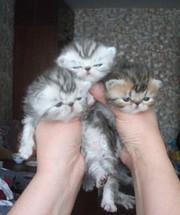 Очаровательные котята экзоты!