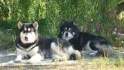 Продам красивейших щенков Аляскинского маламута