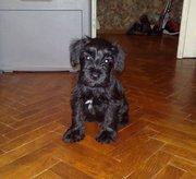 Продам очаровательного щенка Цвергшнауцера