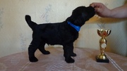 Русского Черного Терьера щенки ищут любящих хозяев