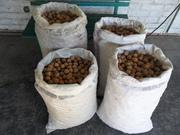 Продам грецкие орехи со своего сада - более 100 кг.