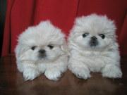 продаются щенки белого пекинеса